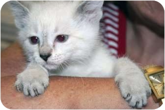 Siamese Kitten for adoption in Cincinnati, Ohio - Red Bank Orientals