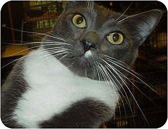 Domestic Shorthair Cat for adoption in Watkinsville, Georgia - Cary Grant