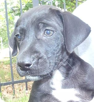 Labrador Retriever Mix Puppy for adoption in Chapel Hill, North Carolina - Wiggles