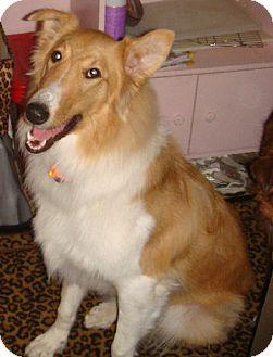 Collie Dog for adoption in Minneapolis, Minnesota - Benny