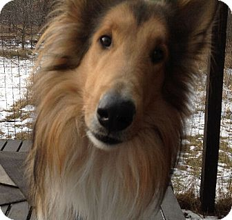 Collie Dog for adoption in Minneapolis, Minnesota - Chester