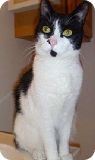 Domestic Shorthair Cat for adoption in Hamburg, New York - Marcy