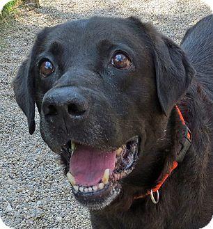 Labrador Retriever Mix Dog for adoption in Marseilles, Illinois - Grant