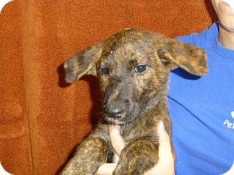Australian Shepherd/Labrador Retriever Mix Puppy for adoption in Oviedo, Florida - Eric