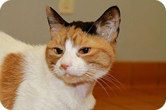 Calico Cat for adoption in Westport, Connecticut - Nena
