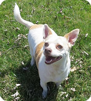 Chihuahua/Rat Terrier Mix Dog for adoption in Marseilles, Illinois - Moe