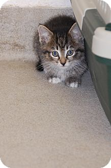 Maine Coon Kitten for adoption in Bucyrus, Ohio - Justice