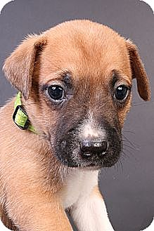 Labrador Retriever Mix Puppy for adoption in Joliet, Illinois - Otis