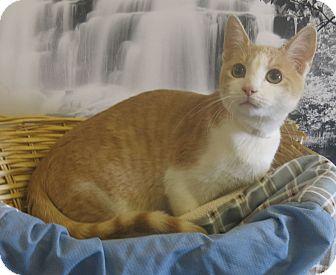 Domestic Shorthair Cat for adoption in Buena Vista, Colorado - Scuttle