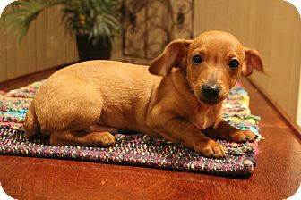 Dachshund/Chihuahua Mix Puppy for adoption in Southington, Connecticut - Crook