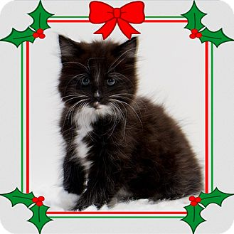 Domestic Mediumhair Kitten for adoption in Troy, Ohio - Winona