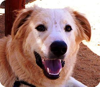 Golden Retriever Mix Dog for adoption in Las Cruces, New Mexico - Scooter