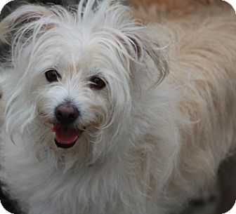 Maltese/Terrier (Unknown Type, Small) Mix Dog for adoption in Woonsocket, Rhode Island - Shipley