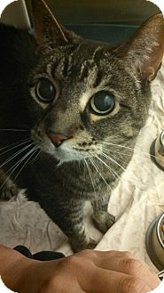 Domestic Shorthair Cat for adoption in Skippack, Pennsylvania - Ellie