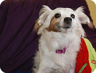 Jack Russell Terrier Mix Dog for adoption in Philadelphia, Pennsylvania - Ruby