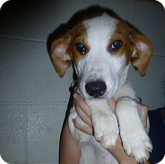 Golden Retriever/Welsh Springer Spaniel Mix Puppy for adoption in Oviedo, Florida - Olive