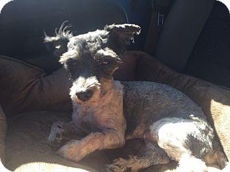 Schnauzer (Miniature)/Poodle (Miniature) Mix Dog for adoption in Las Vegas, Nevada - Odan