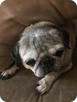 Pug Dog for adoption in Strasburg, Colorado - Lucy