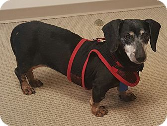 Dachshund Dog for adoption in Decatur, Georgia - Maybelle