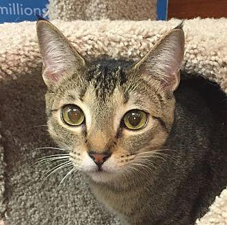 Domestic Shorthair Cat for adoption in Smyrna, Georgia - Maryann