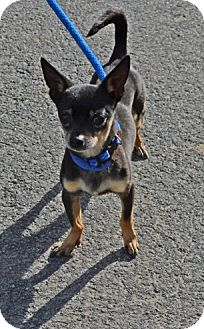 Chihuahua Mix Dog for adoption in Gardnerville, Nevada - Oscar