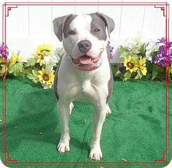 Pit Bull Terrier Mix Dog for adoption in Marietta, Georgia - CLARISSA