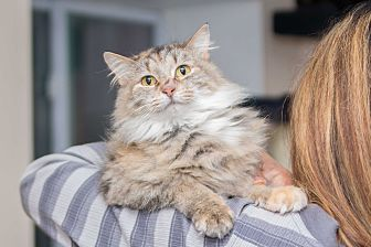 Maine Coon Cat for adoption in Chicago, Illinois - Alexis