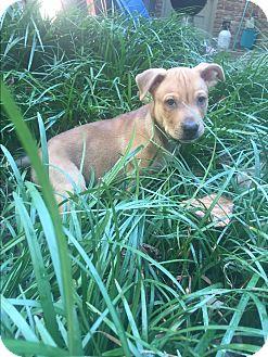 Belgian Malinois/Siberian Husky Mix Puppy for adoption in Atlanta, Georgia - T-Bone