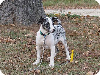 Australian Shepherd/Hound (Unknown Type) Mix Puppy for adoption in Newburgh, New York - NICKLE