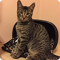 American Shorthair Kitten for adoption in Barrington, New Jersey - Bosco