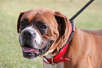 Boxer Dog for adoption in Phoenix, Arizona - Kolton