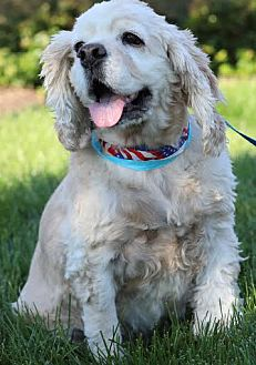 Cocker Spaniel Dog for adoption in Westminster, Maryland - Theodore