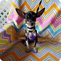 Adopt A Pet :: Isla - San Antonio, TX