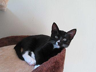 Domestic Shorthair Kitten for adoption in Virginia Beach, Virginia - Ziggy