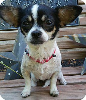 Chihuahua Dog for adoption in Bridgeton, Missouri - Rosie