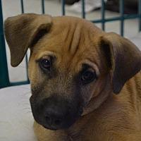 Adopt A Pet :: Han - Pahrump, NV