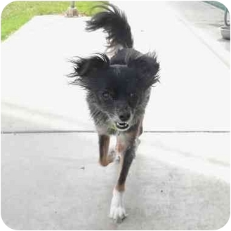 Papillon Mix Dog for adoption in San Clemente, California - MOUSE