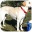 Photo 3 - Labrador Retriever Dog for adoption in Wakefield, Rhode Island - BAILEY