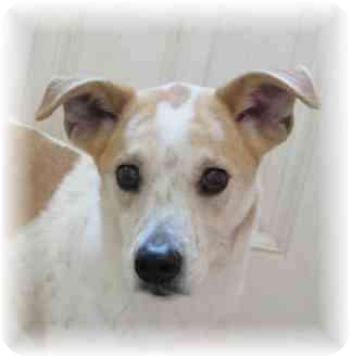 Beagle/Terrier (Unknown Type, Small) Mix Dog for adoption in Wyoming, Minnesota - Dooley - Cute!