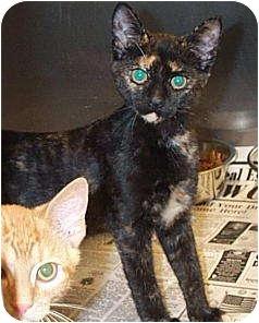 Domestic Shorthair Kitten for adoption in Beacon, New York - Lindy