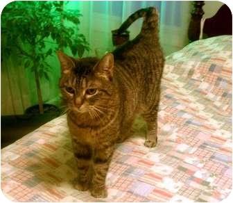 Domestic Shorthair Cat for adoption in Overland Park, Kansas - Pepper