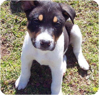 Border Collie Mix Puppy for adoption in Metamora, Indiana - Lego, Ellie's pup