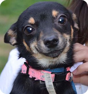 Chihuahua Mix Puppy for adoption in Allentown, Pennsylvania - Precious