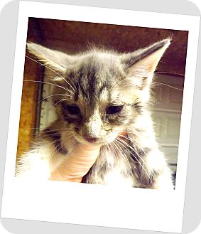 Domestic Shorthair Kitten for adoption in Owosso, Michigan - Buttons