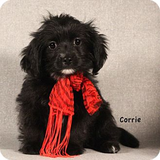 Shih Tzu/Dachshund Mix Puppy for adoption in Kerrville, Texas - Corrie