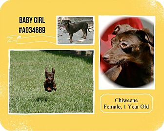 Dachshund/Chihuahua Mix Dog for adoption in Lufkin, Texas - Baby Girl