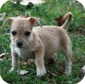 Chihuahua/Miniature Schnauzer Mix Puppy for adoption in Washington, D.C. - Dora