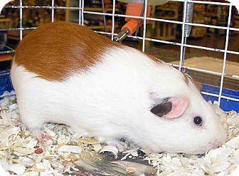 Guinea Pig for adoption in Colorado Springs, Colorado - Gunther