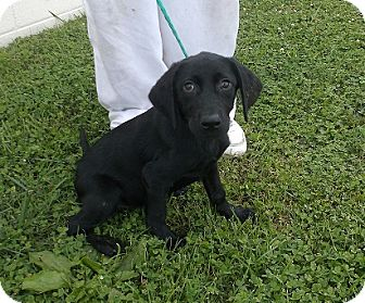 Labrador Retriever Mix Puppy for adoption in Morristown, Tennessee - Lady