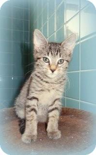 Domestic Shorthair Kitten for adoption in Nashville, Tennessee - Thomas Jay